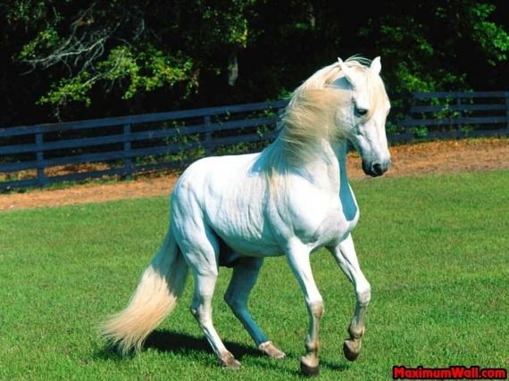 photo de cheval blanc qui se cabre