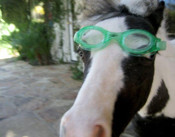 photo de cheval miniature