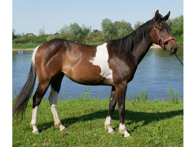 photo de cheval paint horse