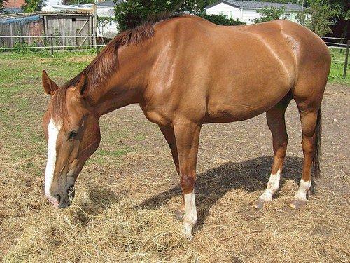 photo de cheval qui mange