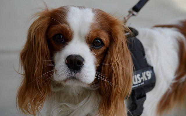 photo de chien a grande oreille