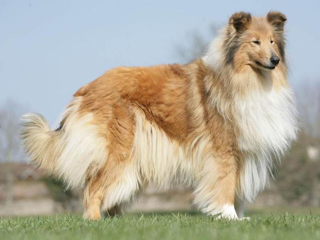 photo de chien a poil long