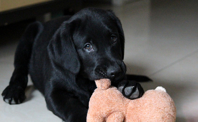 photo de chien a vendre