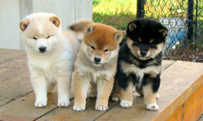photo de chien akita inu