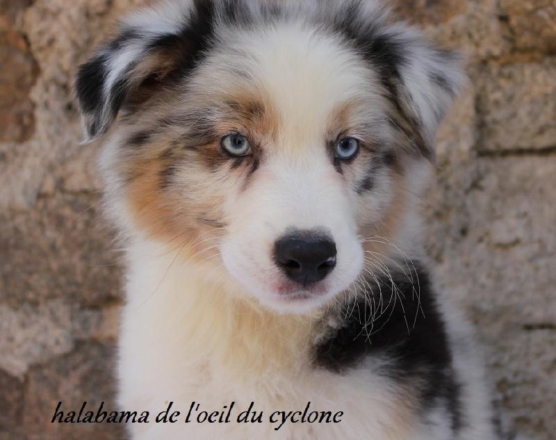 photo de chien au yeux bleu