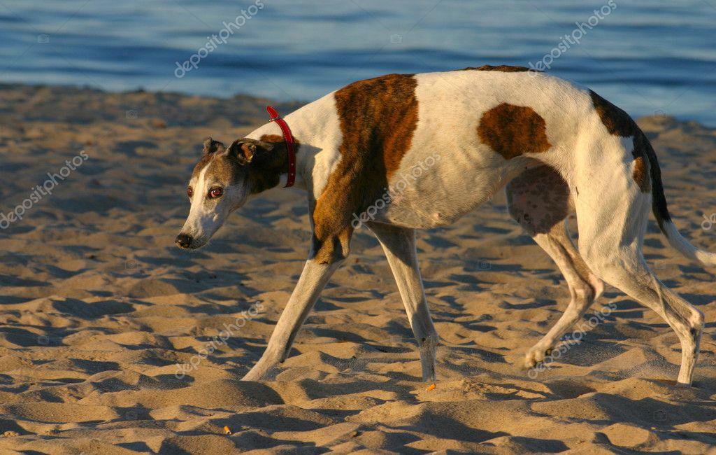 photo de chien battu