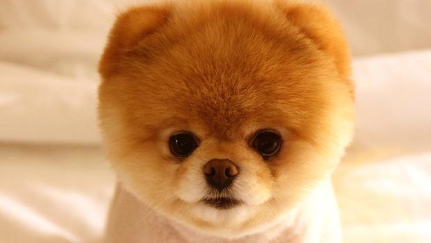 photo de chien boo