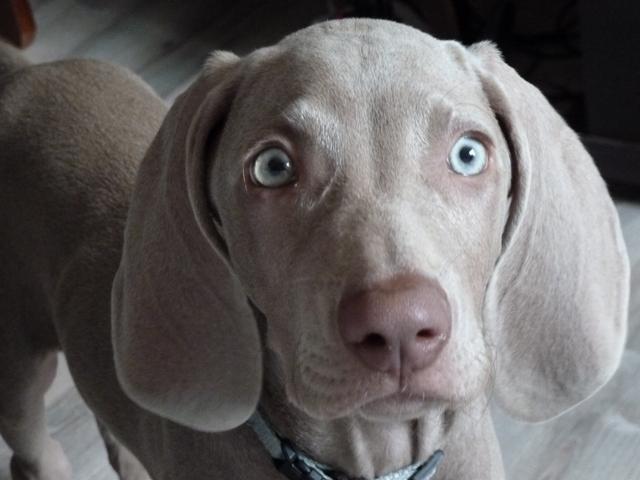 photo de chien braque de weimar