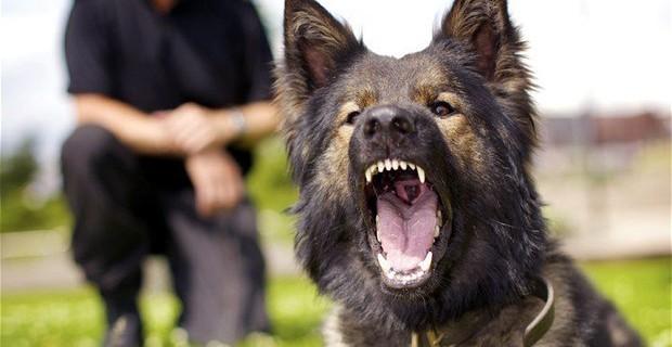 photo de chien d'attaque