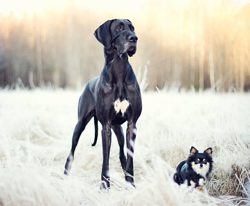 photo de chien danois