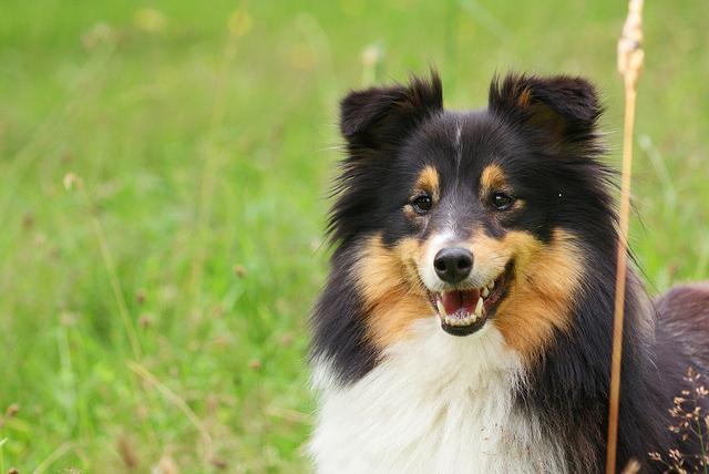 photo de chien de berger