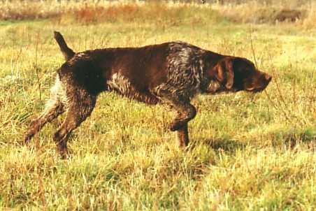 photo de chien de chasse a l'arret