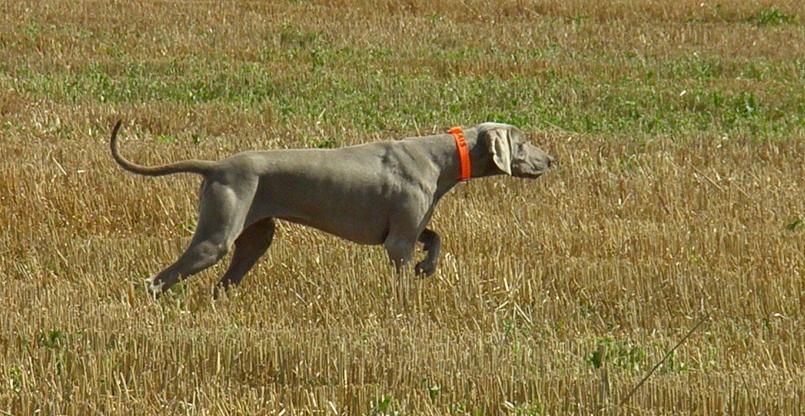 photo de chien de chasse