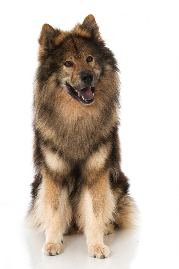 photo de chien eurasier