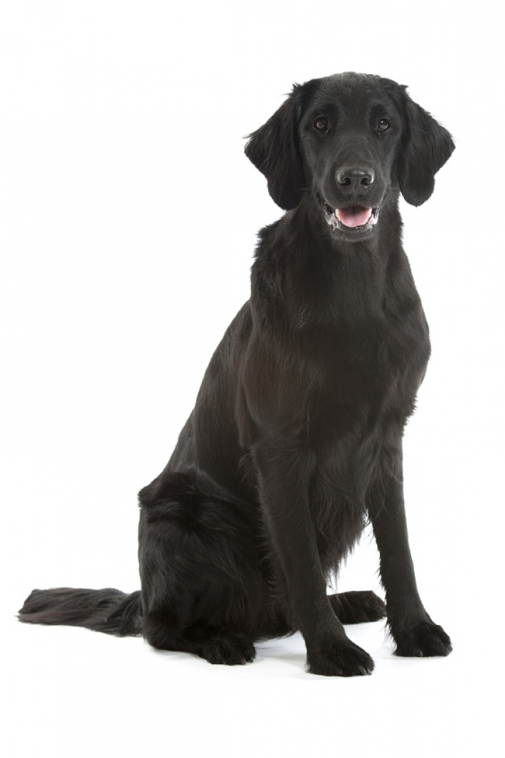 photo de chien flat coated retriever