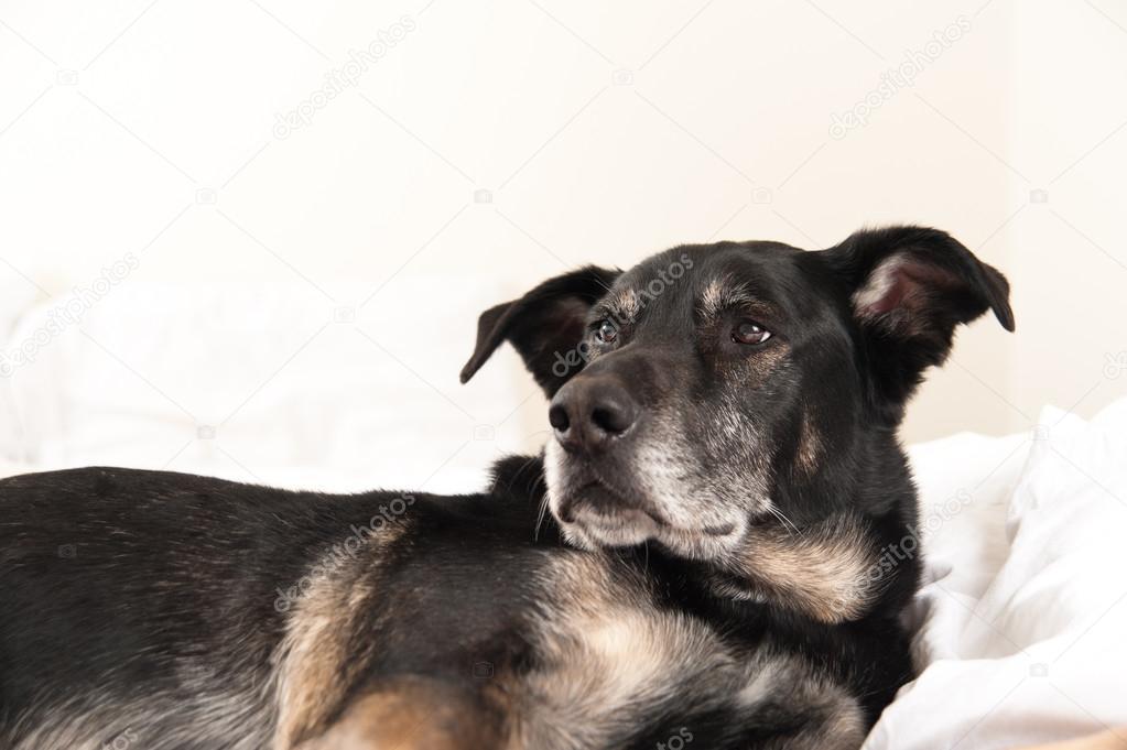 photo de chien fond blanc