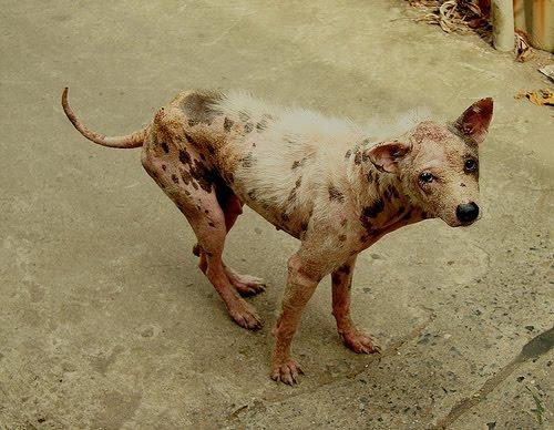 photo de chien galeux