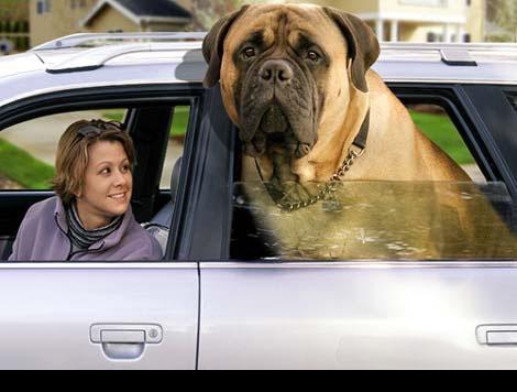 photo de chien geant