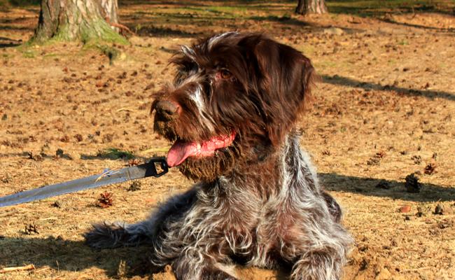 photo de chien griffon korthals