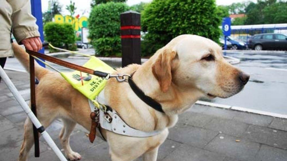 photo de chien guide d'aveugle
