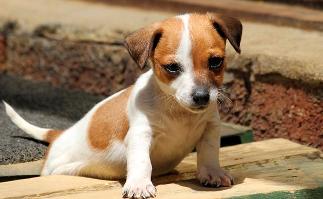 photo de chien jack