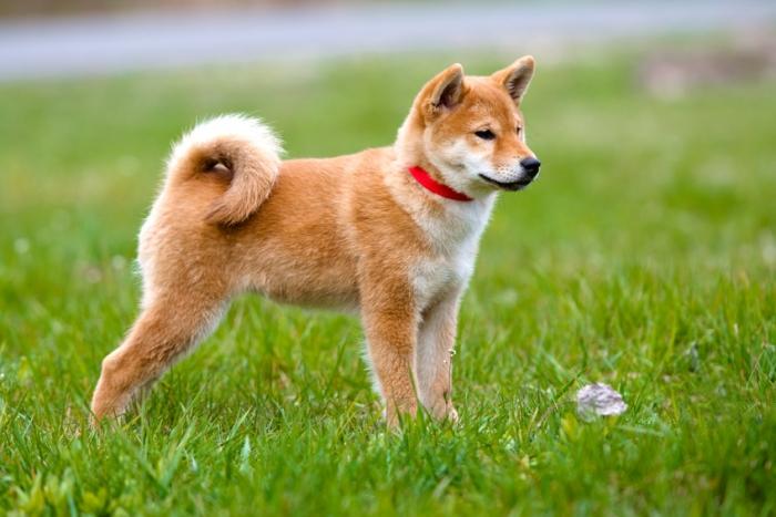 photo de chien japonais