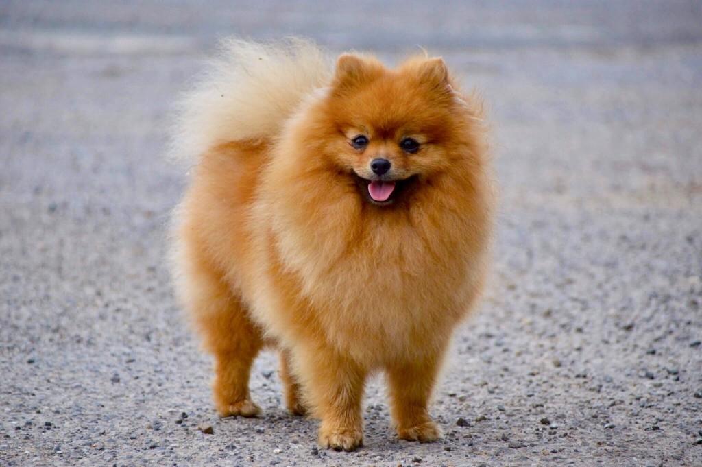 photo de chien loulou de pomeranie