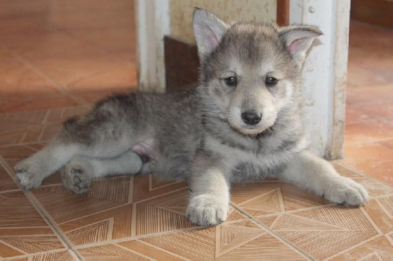 photo de chien loup bebe