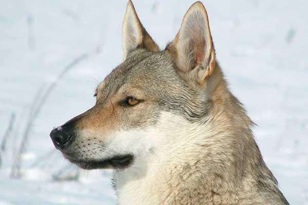 photo de chien loup tchecoslovaque