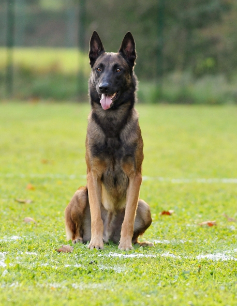 photo de chien malinois