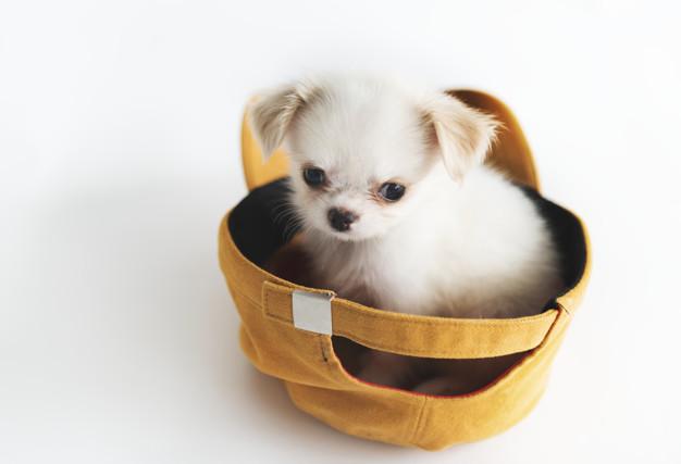 photo de chien miniature
