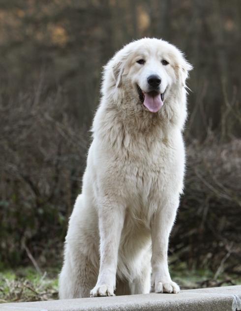 photo de chien montagne des pyrenees