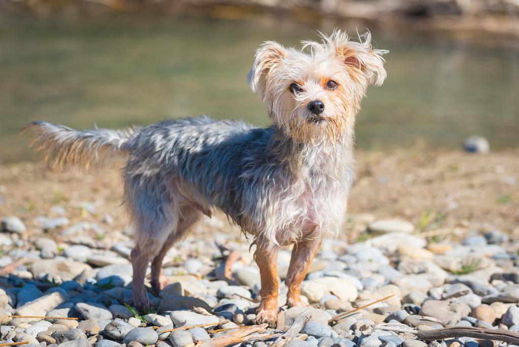 photo de chien morkie