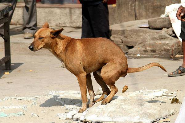 photo de chien qui fait caca