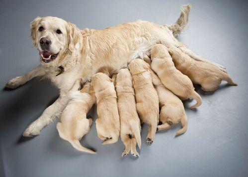photo de chien qui s'accouple