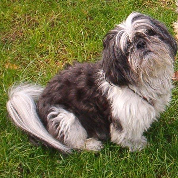 photo de chien race shih tzu