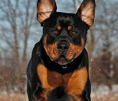 photo de chien rottweiler
