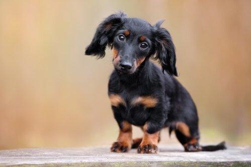 photo de chien saucisse