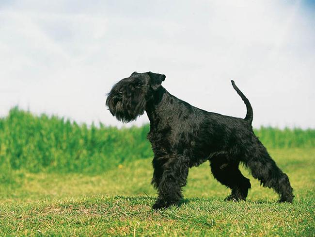 photo de chien schnauzer