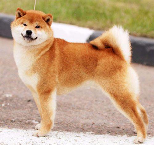 photo de chien shiba