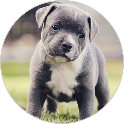 photo de chien staffy
