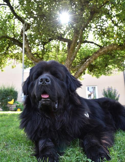 photo de chien terre-neuve