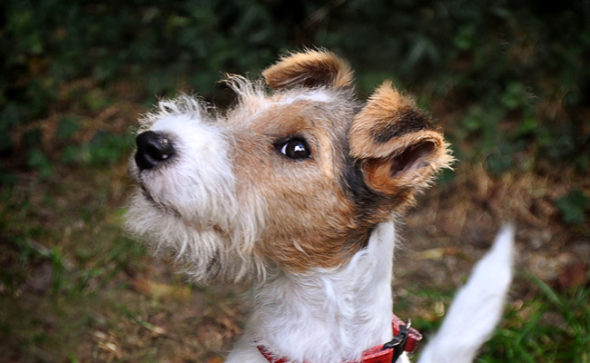 photo de chien terrier
