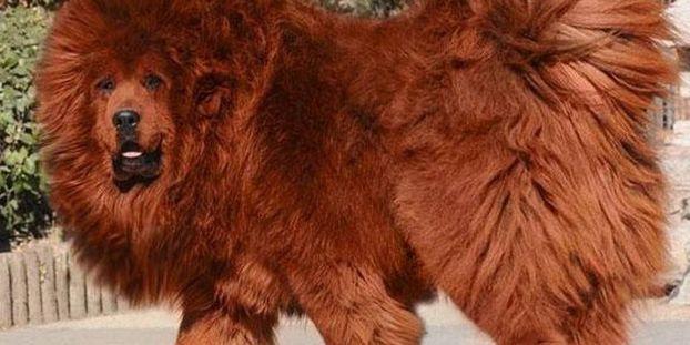 photo de chien tibetain