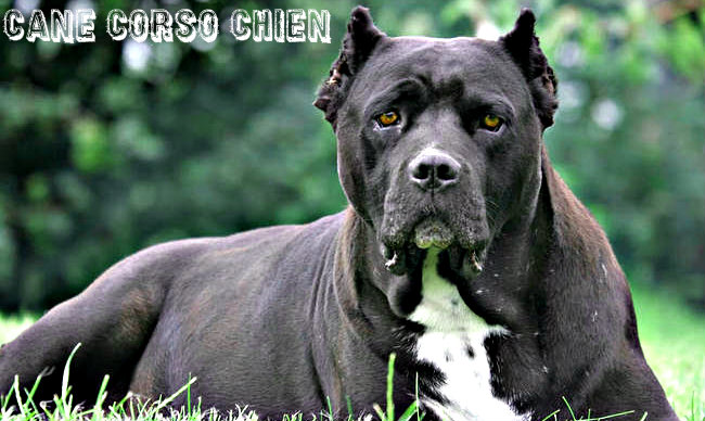 photo de chien tres mechant