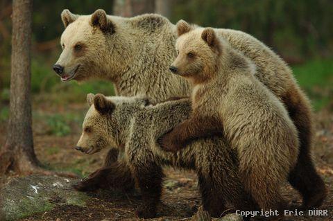 photo de famille ours