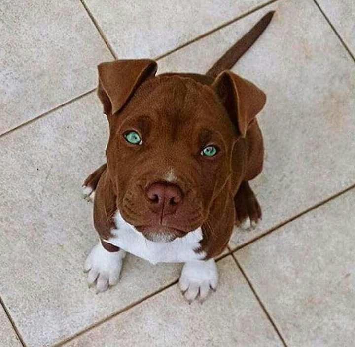 photo de chien pitbull les plus beau du monde - Photos de ...